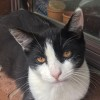 Photo of Cookie The Fiesty Loving Tuxedo Girl Cat!