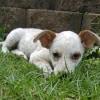 Photo of Tiah ~ Cattle Dog X Kelpie (On Trial 23/3/2018)