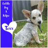 Photo of Texx ~ Cattle Dog X Kelpie (On Trial 25/3/2018)