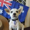 Photo of Texx ~ Cuddly Cattle Dog X Kelpie Puppy