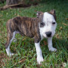 Photo of Zip ~ American Staffy X Puppy