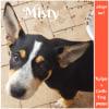 Photo of Misty ~ Kelpie X Cattle Dog (On Trial 7/4/2018)