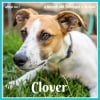 Photo of Clover ~ 9 Month Old Whippet X Kelpie