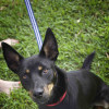 Photo of Nelson ~ 1 Year Old Kelpie X