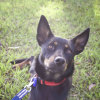 Photo of Nelson ~ 1 Year Old Kelpie X (On Trial 10 4 2018)