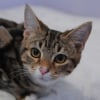 Photo of Chatelet The Marbled Tabby Kitten!