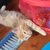 Photo of Gilbert ^^Dandy Cat Rescue^^