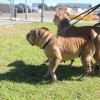 Photo of Shar Pei Lady