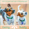 Photo of Gerry And Boofy ~ Foxie X Chi (On Trial 20/5/18)