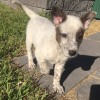 Photo of Aztec ~ Happy Cattle Dog X Puppy