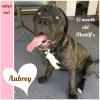 Photo of Aubrey ~ 12 Month Old Mastiff X