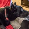 Photo of Max ~ 3 Year Old Kelpie X