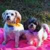 Photo of Diesel And Lucy   Maltese X (Pending Adoption)