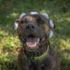 Photo of Missy (Brindle)