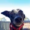 Photo of Midge (In Foster 3 June)