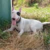 Photo of Kaos   Nsw Bull Terrier Rescue