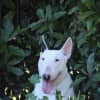 Photo of Tori   Nsw Bull Terrier Rescue