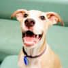 Photo of Willow ~ Beautiful 5mo Mastiff X Puppy