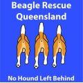 Beagle Rescue QLD