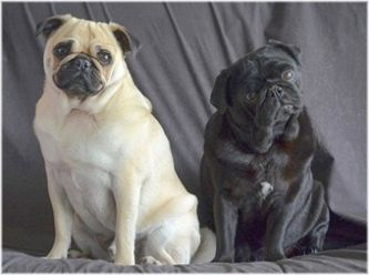 Pug Rescue & Rehoming Queensland & Northern NSW