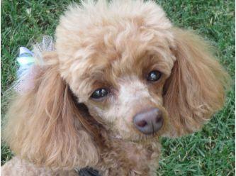 Poodle Rescue Queensland