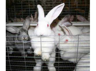 Freedom for Farmed Rabbits