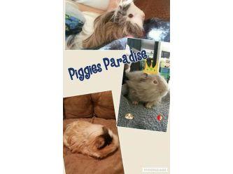 Large piggies