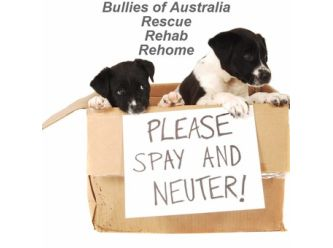 Bullies Of Australia Rescue Rehab Rehome