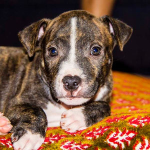 No photo for Lucas ~ Cute Staffy X Puppy