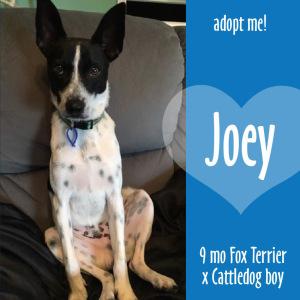 No photo for Joey ~ 9mo Fox Terrier X Cattledog Boy