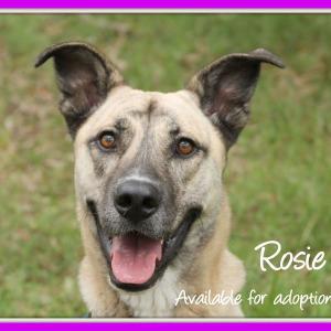 No photo for Rosie ~ German Shepherd X Mastiff X