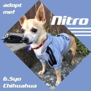 No photo for Nitro ~ 6.5yo Chihuahua Boy