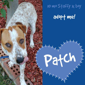 No photo for Patch ~ 10mo Staffy X Boy