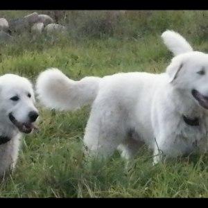 No photo for Maremma Sheepdogs