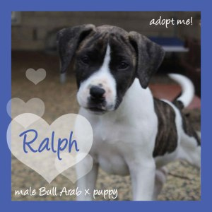 No photo for Ralph ~ Sweet Bull Arab X Puppy