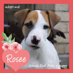 No photo for Rosee ~ Lovely Bull Arab X Puppy