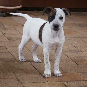 No photo for Precious ~ Lovely Bull Arab X Puppy