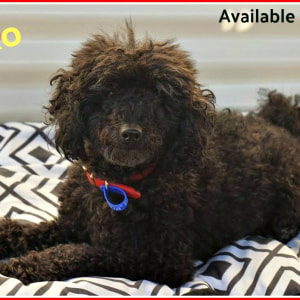 No photo for Chiko ~ Toy Poodle ~ Male