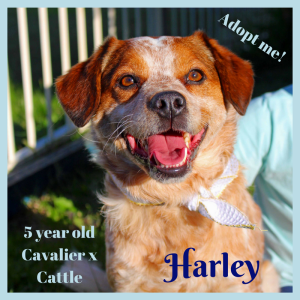 No photo for Harley ~ Cavalier X Cattle