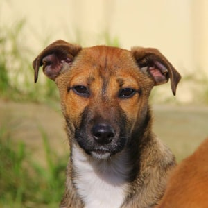No photo for Mardi ~ Sweet Jack Russell X Puppy