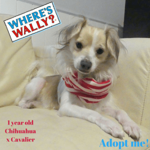 No photo for Wally ~ Chihuahua X Cavalier