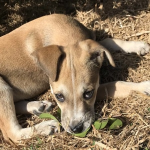 No photo for Maisy ~ Cute Kelpie X Puppy