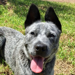 No photo for Roxy ~ Blue Cattle Dog Puppy