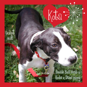 No photo for Kota ~ Sweet Bull Arab X Koolie X Dane Puppy
