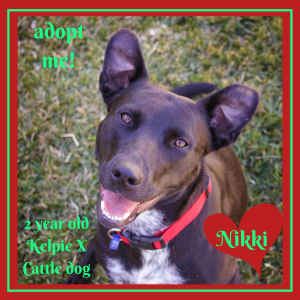 No photo for Nikki ~ Kelpie X Cattle Dog