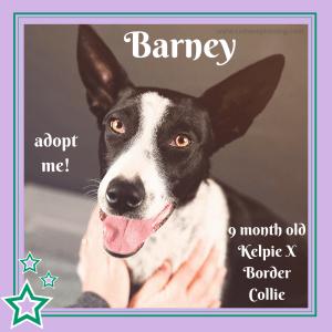 No photo for Barney ~ Kelpie X Border Collie