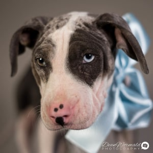 No photo for Jasper ~ Cute Bull Arab X Koolie X Dane Puppy