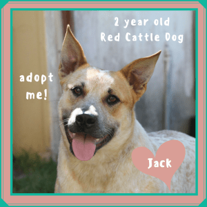 No photo for Jack ~ Red Cattle Dog