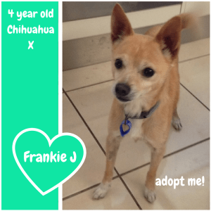 No photo for Frankie J ~ Chihuahua X