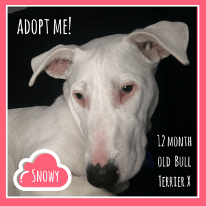 No photo for Snowy ~ Bull Terrier X